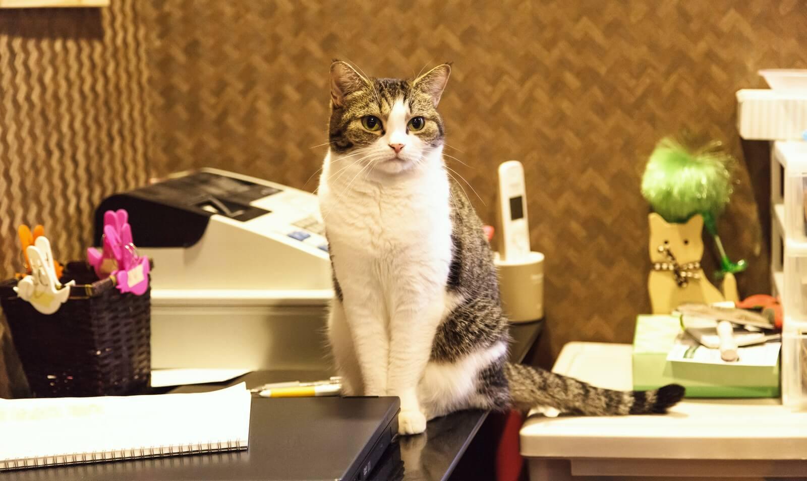 店舗のレジの看板猫